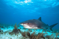 Tiger shark. Big Tiger shark on the Tiger beach Stock Photo