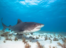 Tiger shark. Big Tiger shark on the Tiger beach royalty free stock photo