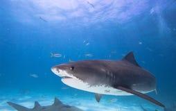 Tiger Shark. Big tiger shark in blue water royalty free stock image