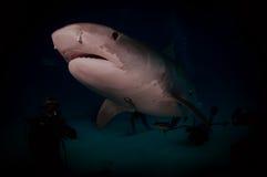 Tiger Shark Royalty Free Stock Photography
