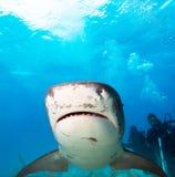 Tiger shark. Royalty Free Stock Image