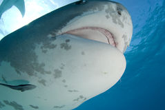 Tiger Shark Close Up with Mouth Open. Tiger Shark swims by at Tiger Beach in the Bahamas royalty free stock photos