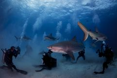Tiger Shark com mergulhador Fotografia de Stock