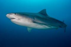 Tiger Shark dans le bleu profond images libres de droits