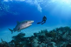 Tiger Shark and Diver in Bahamas. Swimming Together in Blue Ocean royalty free stock images