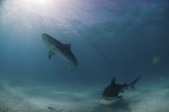 Tiger shark escapade. The view of tiger sharks swimming along, Bahamas Stock Photo