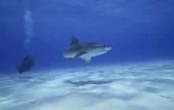 TIGER SHARK/ galeocerdo cuvieri royalty free stock photography