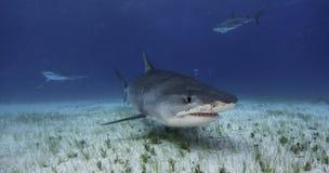 Tiger Shark Grand Bahama, Bahamas stockbilder