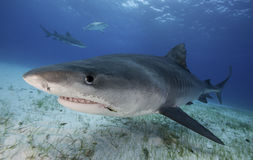 Tiger Shark Grand Bahama, Bahamas Images libres de droits