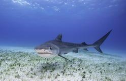 Tiger Shark Grand Bahama, Bahamas photos stock