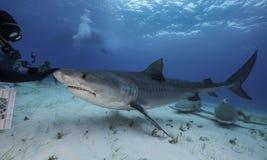 Tiger Shark Grand Bahama, Bahamas Photographie stock libre de droits