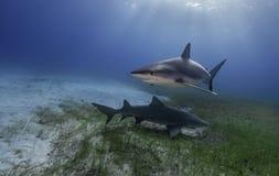Tiger Shark Grand Bahama, Bahamas. Tiger shark , at the dive site called Tiger Beach in the Bahamas royalty free stock images