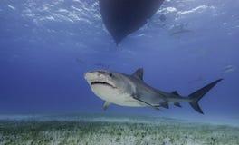 Tiger Shark Grand Bahama, Bahamas. Tiger shark swimming along a sea grass covered sandy bottom at the dive site called Tiger Beach in the Bahamas royalty free stock images