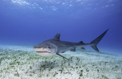 Tiger Shark Grand Bahama, Bahamas. Tiger shark swimming along a sea grass covered sandy bottom at the dive site called Tiger Beach in the Bahamas Stock Photos