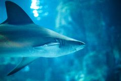 Tiger Shark im Aquarium Stockfoto