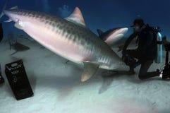Tiger Shark Royalty Free Stock Image
