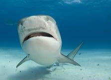 Tiger Shark Nose Up. Tiger Shark swims by at Tiger Beach in the Bahamas royalty free stock image