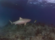 Tiger Shark Stock Photos