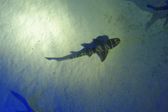 Tiger shark. Overhead view of a tiger shark swimming in the sea royalty free stock images