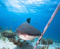 Tiger shark. Protection from Tiger shark, Bahamas royalty free stock photo