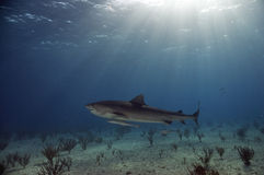 Tiger Shark in the Shallows Royalty Free Stock Images
