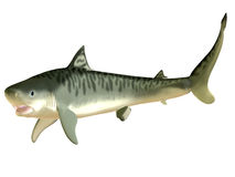 Tiger Shark Side Profile. The Tiger Shark is a large macropredator which can attain a length of 5 meters or 16 feet and is found in tropical and temperate waters stock image