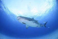 Tiger Shark Swimming Calmly ändå öppet blått vatten i Bahamas royaltyfri fotografi