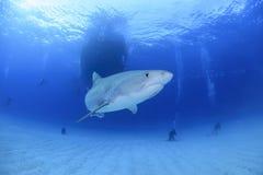 Tiger Shark Swimming in chiare acque dell'oceano delle Bahamas Fotografia Stock