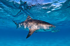 A tiger shark swimming in clear, shallow water with a visible hook and fishing line caught in their mouth. A tiger shark swimming in very blue clear water stock image