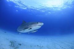 Tiger Shark Swimming Gracefully in acque blu dell'oceano delle Bahamas immagine stock libera da diritti