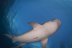 Tiger Shark Stock Images