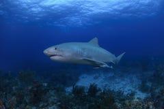 Tiger Shark Swimming sopra Coral Reefs in Bahamas Immagini Stock