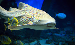Tiger shark swimming underwater. Tropical tiger shark swimming underwater stock photography