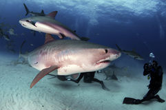 Tiger Shark. A tiger shark swims underneath a smaller Caribbean reef shark stock photos