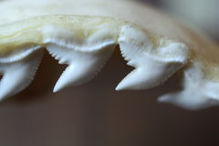 Tiger shark teeth. In jaws stock photo