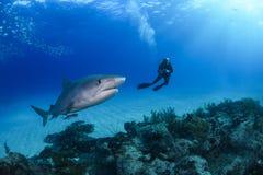 Tiger Shark und Taucher in Bahamas lizenzfreie stockbilder