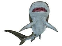 Tiger Shark Underside Royalty Free Stock Photography