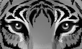 A tiger with sharp eyes Stock Photos