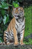 Tiger show tongue is sit down. Animal bengal white waterfall wildlife striped front mammal cat animals zoo aggression nature natural one day big safari jungle stock photo