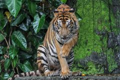 Tiger show tongue is sit down. Animal bengal white waterfall wildlife striped front mammal cat animals zoo aggression nature natural one day big safari jungle stock photos