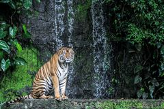 Tiger show tongue walking  in front of mini waterfall. Animal bengal white wildlife striped mammal cat animals zoo aggression nature natural one day big safari stock photography