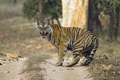 Tiger Showing Teeth Royalty-vrije Stock Foto's