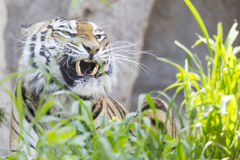 Tiger showing teeth with the mouth closed Stock Images