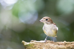 Tiger Shrike in a blurred background. A cute tiger shrike resting on a branch with blurred background Royalty Free Stock Photos