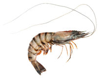 Tiger Shrimp  Stock Photos