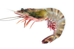 Tiger shrimp Stock Image