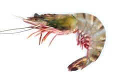 Tiger shrimp Stock Image