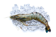 Tiger shrimp on ice cubes Stock Photography