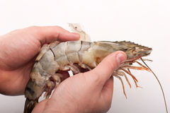 Tiger shrimp peeling Royalty Free Stock Image