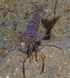 Tiger shrimp. Photographed at night in the cave stock images